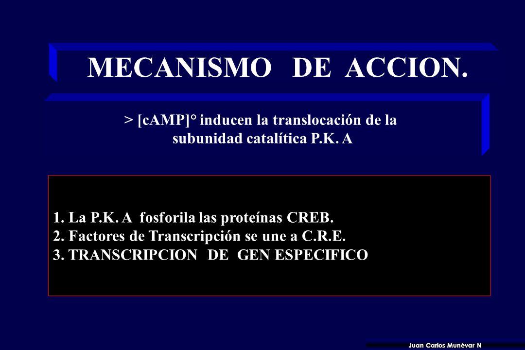 MECANISMO DE ACCION. > [cAMP]° inducen la translocación de la